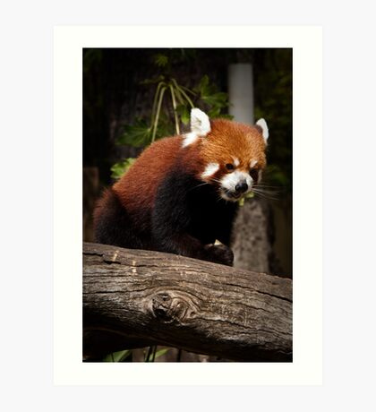 Hungry Red Panda Art Print