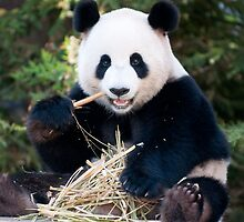 Giant Panda - Funi by Cathy Grieve