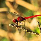 Antillean Red by Robert Abraham