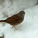 Dunnock In The Snow by Robert Abraham