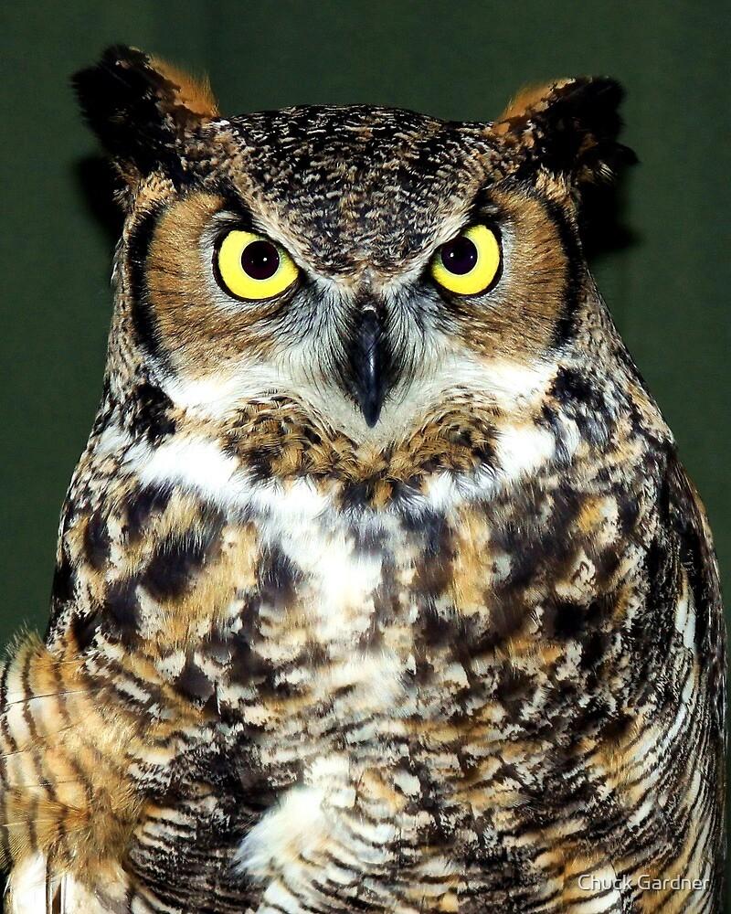 Meet Lorax ~ She's a Great Horned Owl (Bubo virginianus) by Chuck Gardner