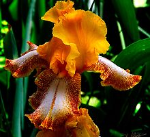 Peach Iris by Patito49