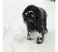 Samson in the snow Photographic Print