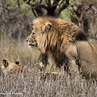 THE LION – 'KING OF THE JUNGLE'  Panthera leo by Magaret Meintjes
