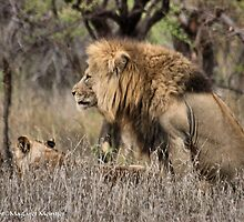 THE LION – 'KING OF THE JUNGLE'  Panthera leo by Magriet Meintjes