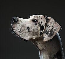 Jasper - The Great Dane by momofoto