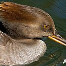 Female Hooded Merganser by Photography by TJ Baccari