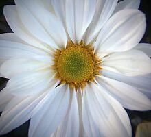 Look Into Beauty's Eye - Daisy by daniepic