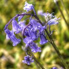 Bluebell beauty by Ms-Bexy