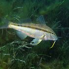 Goatfish in Seagrass by Edjamen