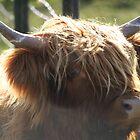highland coo, Scotland by leannepapas