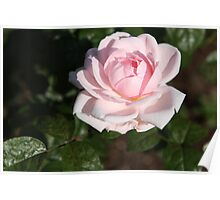 Pink Ivory Poster