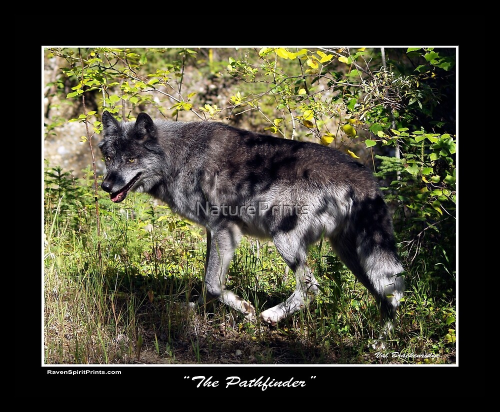 """The Pathfinder"" Grey Wolf Photography by NaturePrints"