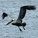 Brown Pelican # 1 by hatterasjack
