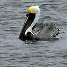 Brown Pelican # 2 by hatterasjack