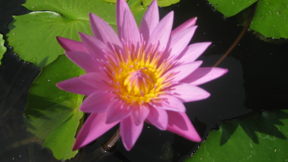 Pink water lily by Julietmsampson