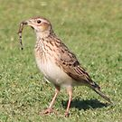 Skylark with worm. by Teuchter