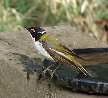 White-naped Honeyeater by Meg Hart