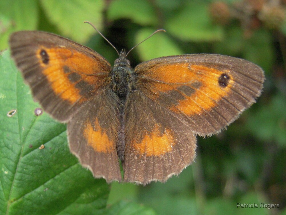 A Gatekeeper butterfly. by Patricia Rogers