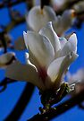 Magnolia Blossum by SWEEPER