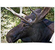 Nice Little Moose Poster