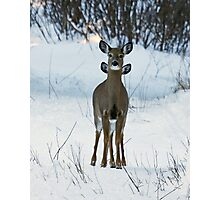 Four eared Deer Photographic Print