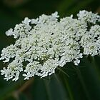 Wild Carrot  by deb cole