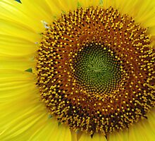 Sunflower #1 - NSW by CasPhotography
