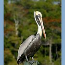 Everglades Pelican by Heidi Hermes