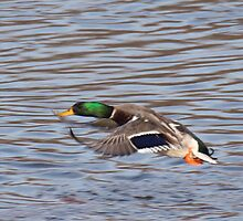 Mallard in Flight by livinginoz