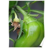 Stick Insects on Capsicum Poster