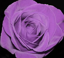 Purple Rose by serendipity3