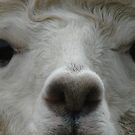 Alpaca Eyes by Marina Hurley