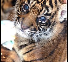 Tiger Baby by Kerryn Benbow