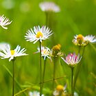 daisies are so cheerful by Brenda Anderson