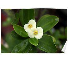 Euphorbia milii Poster