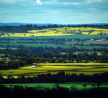 Canola In York by Eve Parry