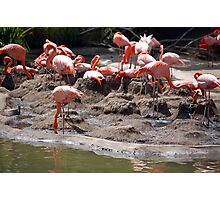 Drinking Flamingo Flock Photographic Print