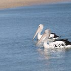 a pair of pelicans on their morning swim by Rodney O'Keeffe