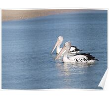 a pair of pelicans on their morning swim Poster