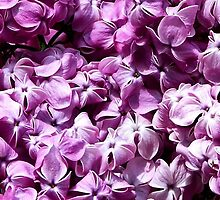 Dark Purple Lilacs by art2plunder