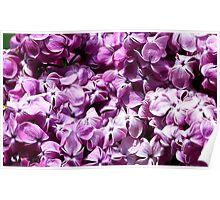 Dark Purple Lilacs Poster