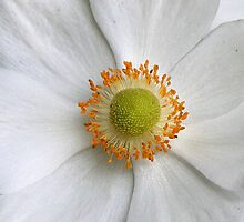 Chinese Anemone by art2plunder