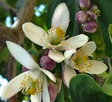 Orange Blossoms by art2plunder