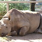 sleeping rhinoceros - dubbo zoo by Rodney O'Keeffe