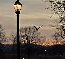 Red Tailed Hawk - Flight at Dusk - Hershey, PA by Corkle