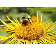 Bee at work Photographic Print