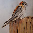 American Kestrel by JRobinWhitley