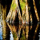 bald cypress by Phillip M. Burrow