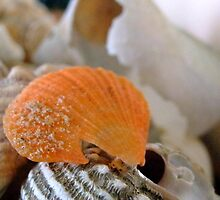 clam shell by leahb